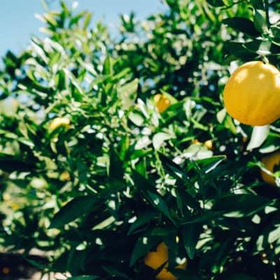 Sonnengereifte Zitronen von unserem spanischen Biobauern.