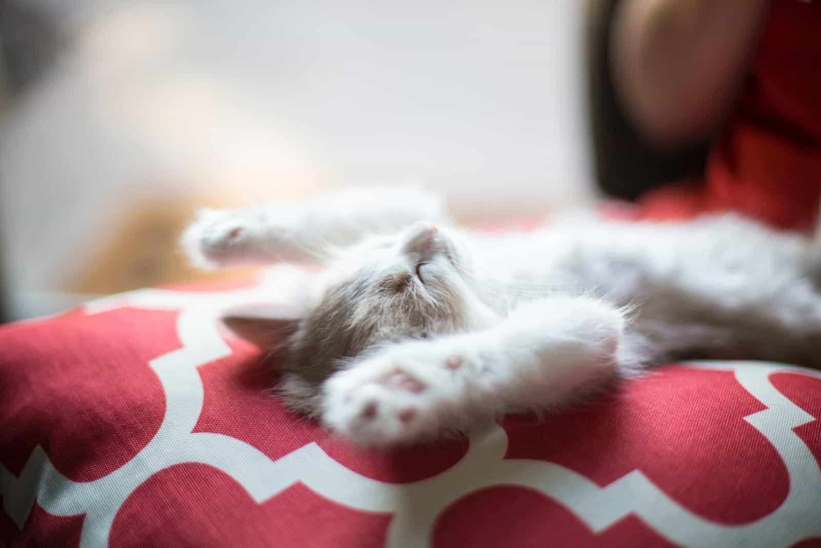 Kitty, Katze