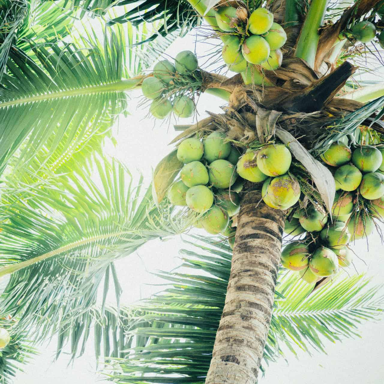 Fresh green coconuts on a palm tree in sun lights