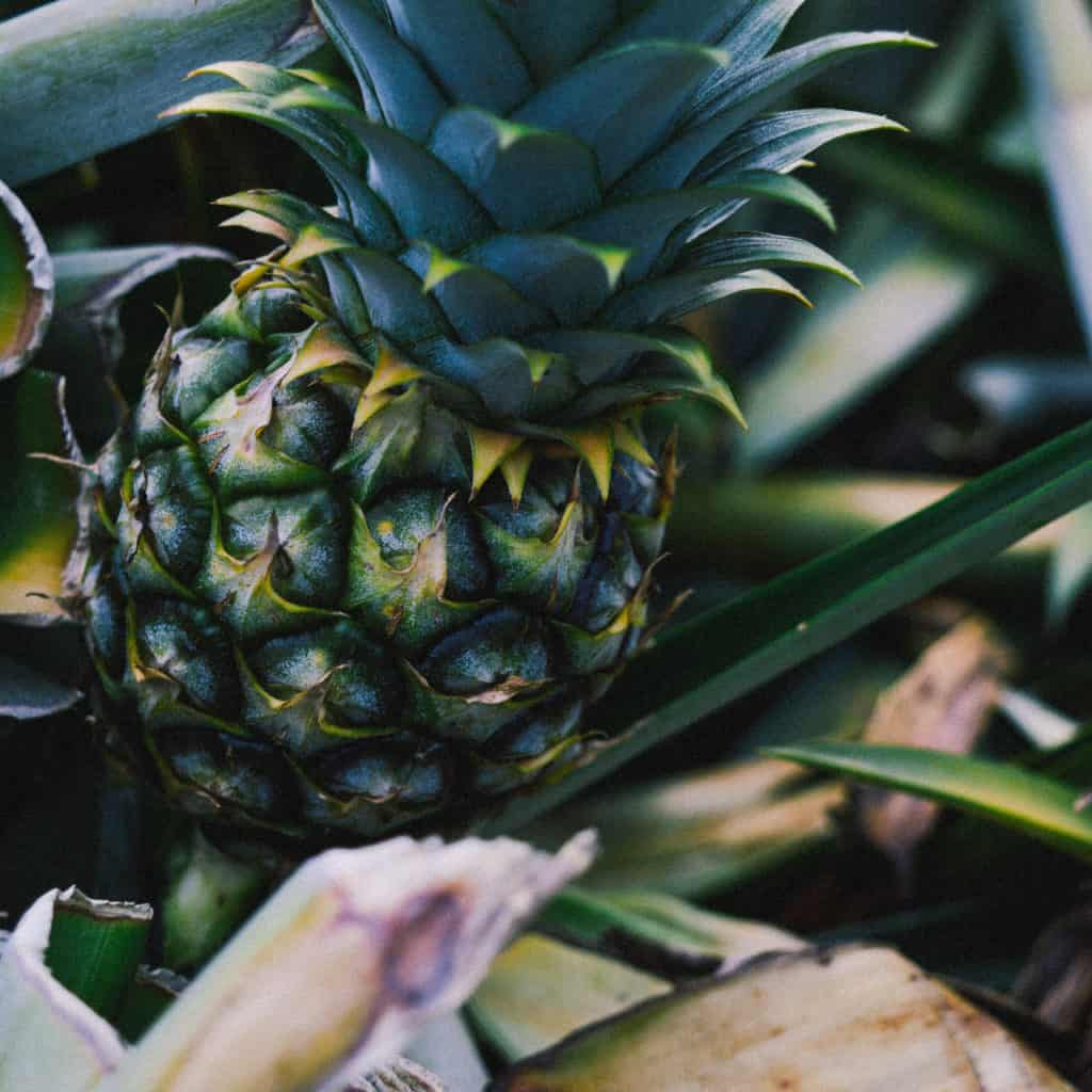 Ananas growing in the wild